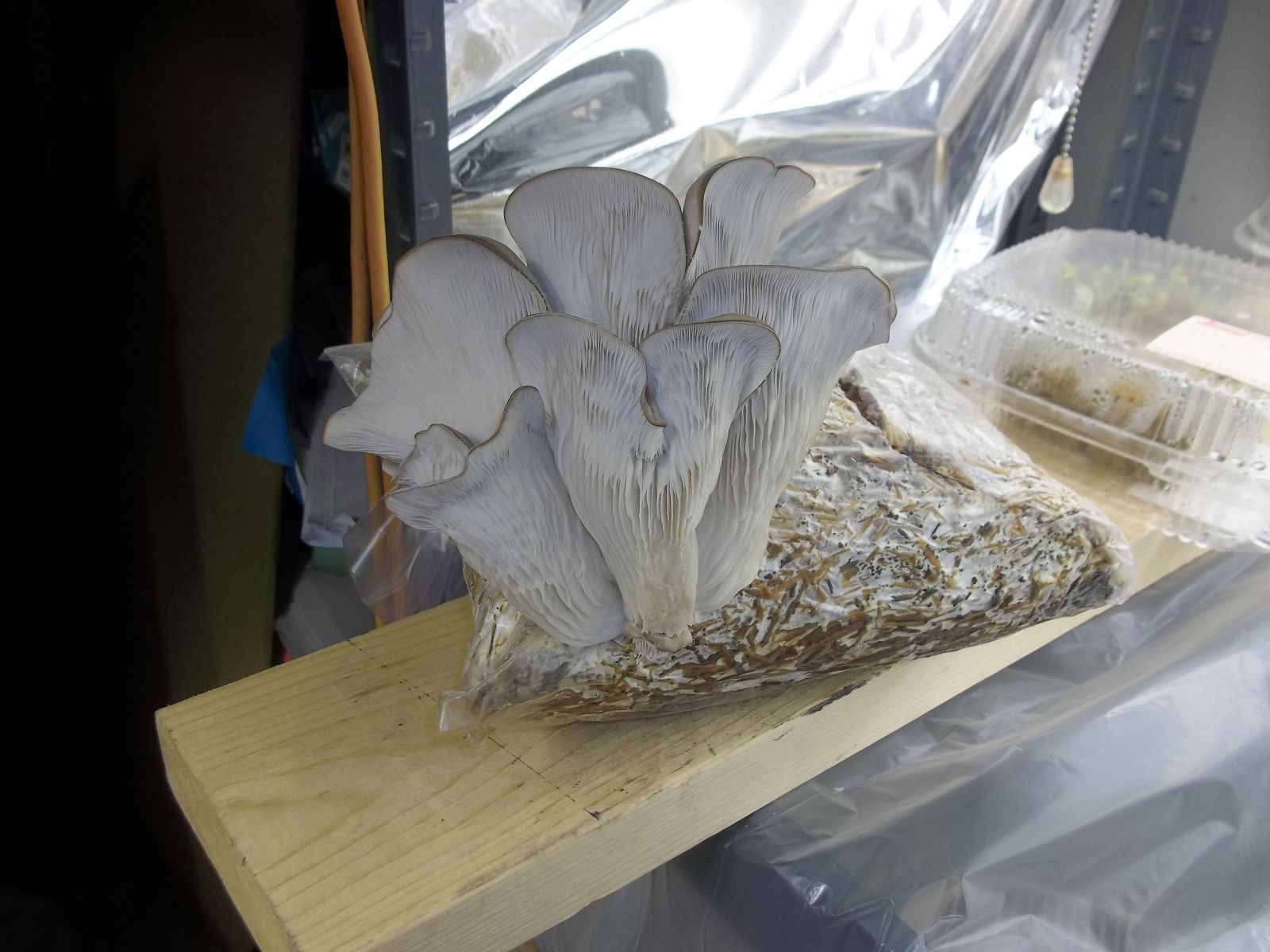 Oyster Mushroom Final Photo Before Picking