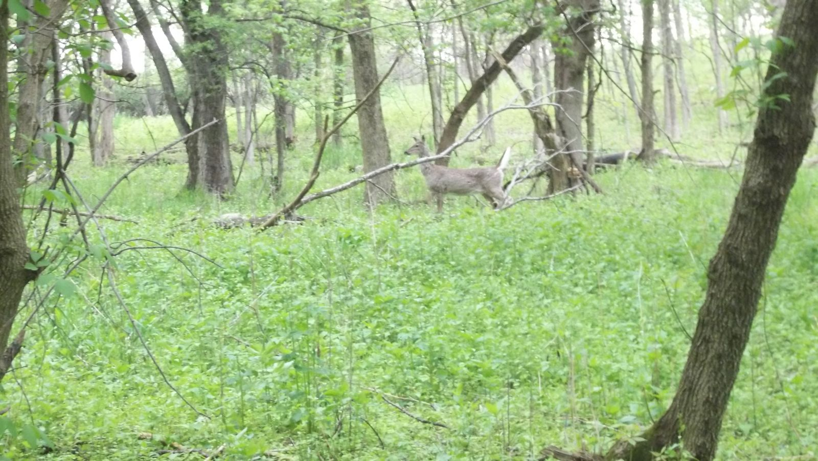 deer chasing coyote
