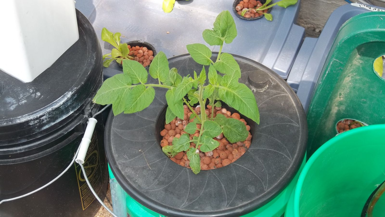 Early Girl Tomato Plant In Hydroponics