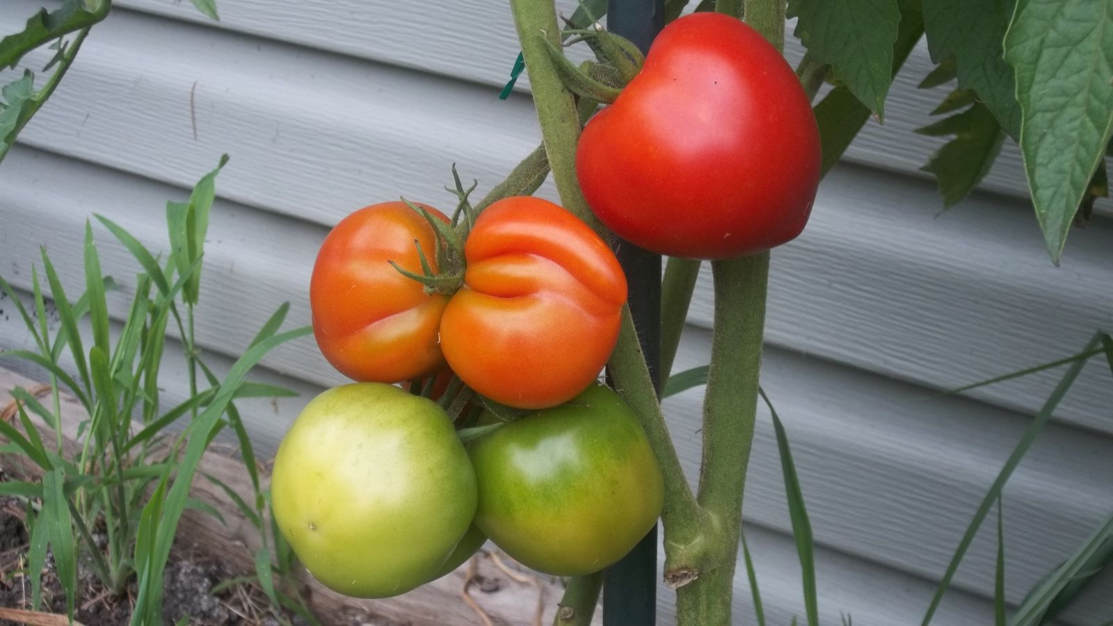 Independence Day Tomato Plant