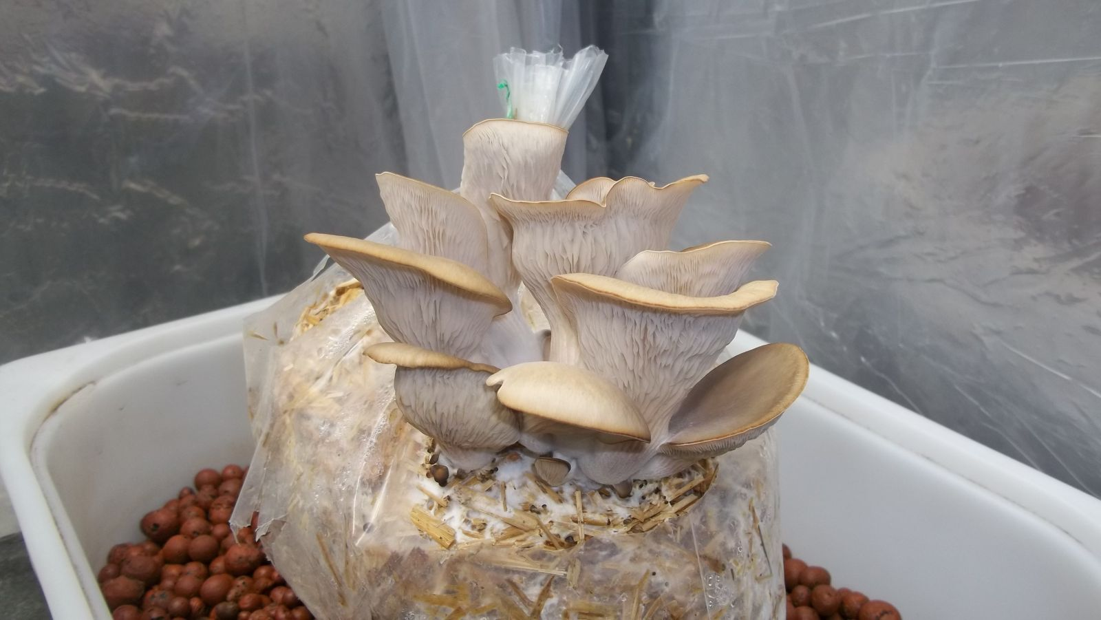 Oyster Mushrooms