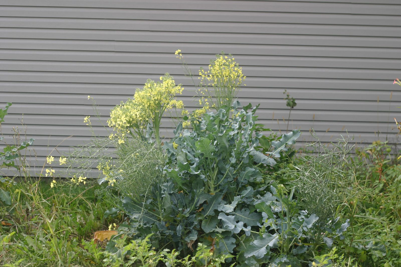 broccoli flowers
